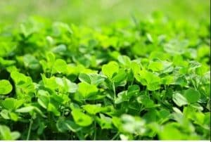 How to Get Rid Of Clover in Flower Beds